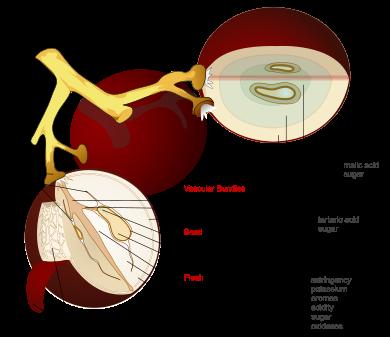 Thursday  The anatomy of a grape   Vinum Vine