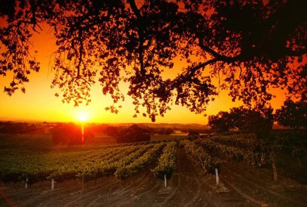 Sunset behind grapes vineyard