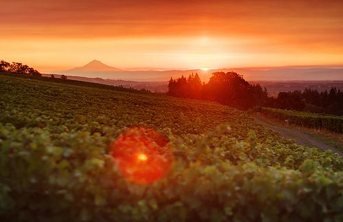 solnedgång över vinodlingar