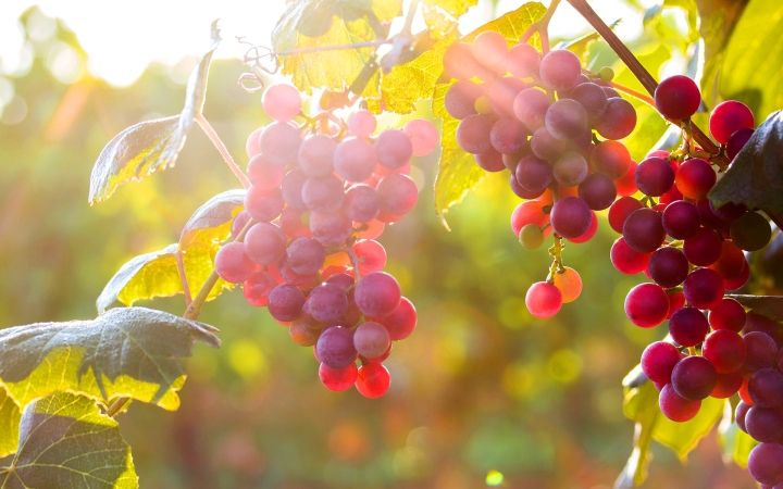 Grapes vines