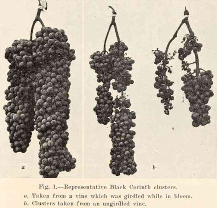 black corinth clusters