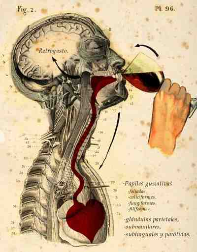 drink wine anatomy