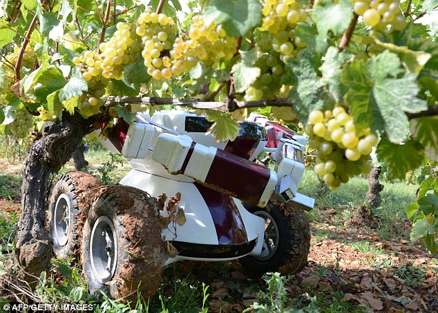 Wall Ye The wine robot pruning