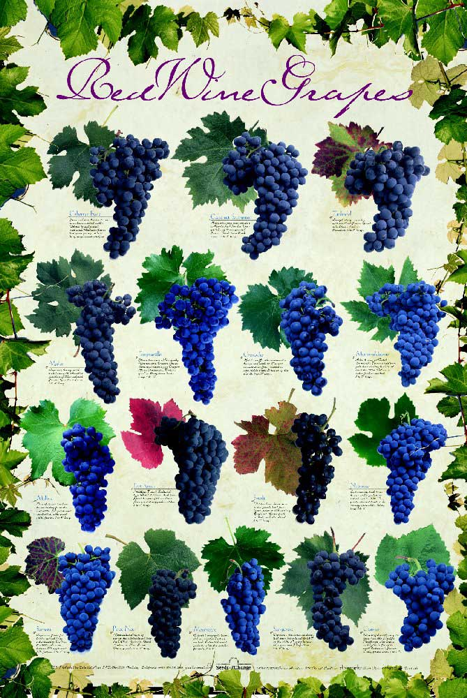 |Sunday| Red Wine Grapes Varieties | Vinum Vine
