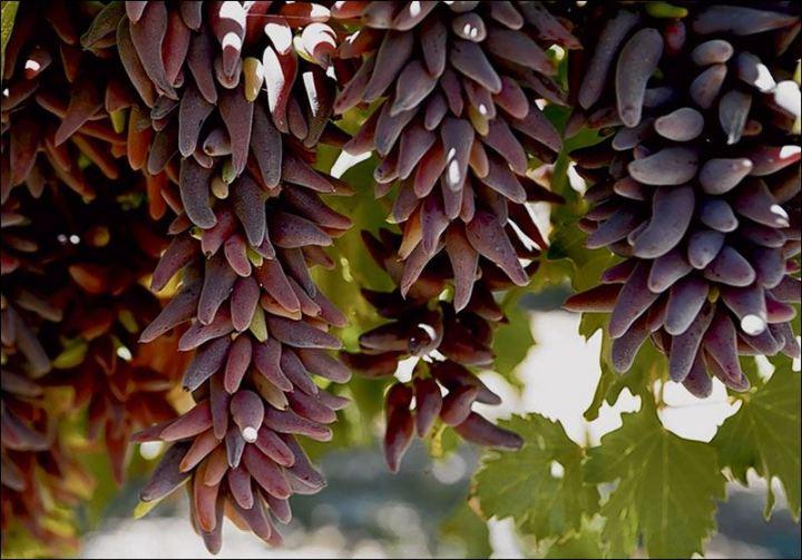 細長的紅葡萄