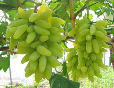 längliche grüne Trauben