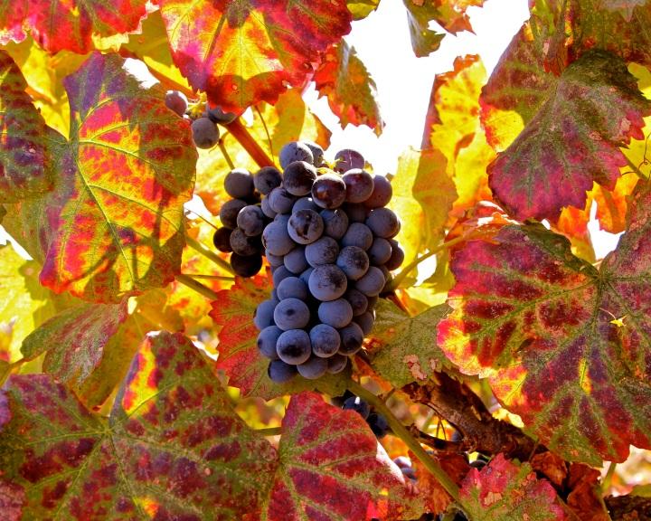 oranž viinamarja lehed