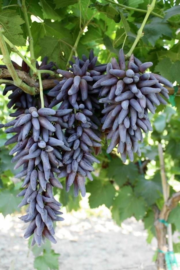 raisin pourpre allongées