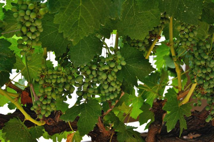 Arizona Grapes by Teresa Riley