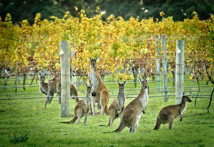 Australian vineyards and kangaroos