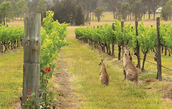 Avstraliya kangaroos və üzüm bağları