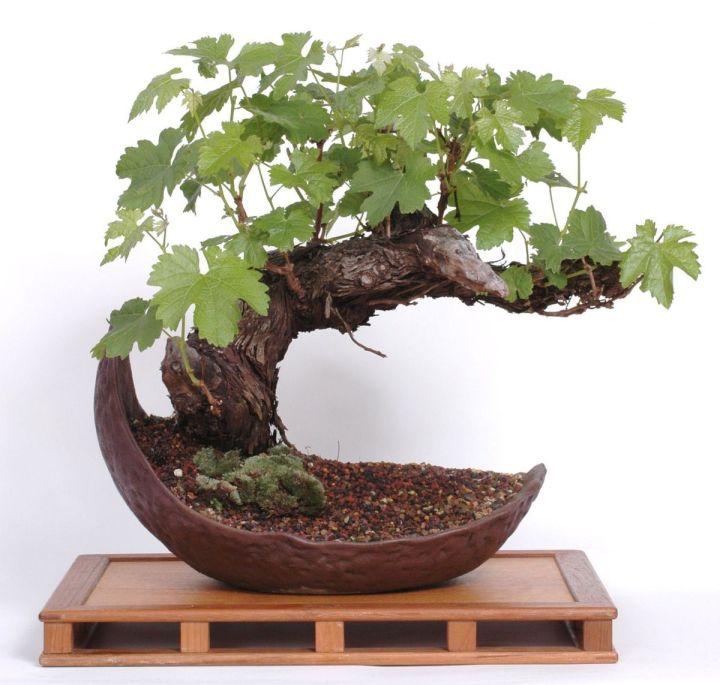 üzüm bonsai ağacı.jpg
