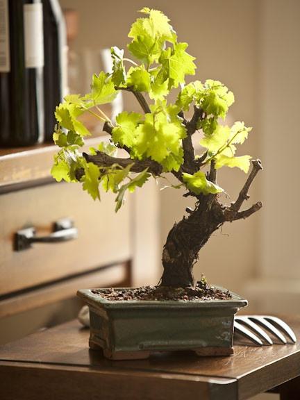 ブドウ盆栽の木.jpg