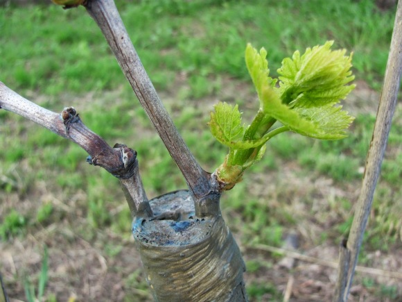 grape vine grafting.jpg