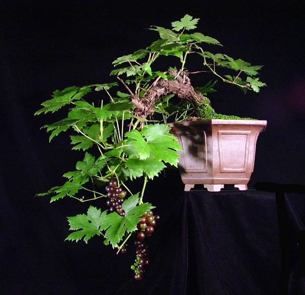 grozdja bonsaj.jpg