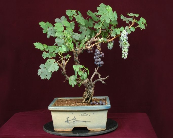 Japanese grape bonsai tree.jpg