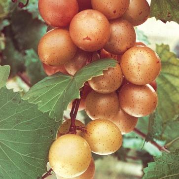 muscadine variety Vitis rotundifolia