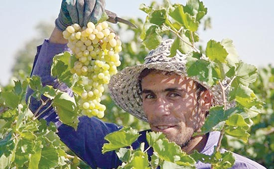 Takestan Iran Grapes